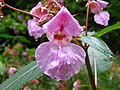 Impatiens glandulifera kwiat.JPG