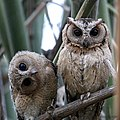Indian Scops Owls from Ranthambore.jpg