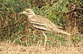 Indian Thick-knee Burhinus indicus by Dr. Raju Kasambe DSCN9380 (16).jpg