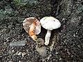 Inocybe whitei 411022.jpg