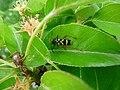 Insekt Warnfarben schwarz gelb.JPG