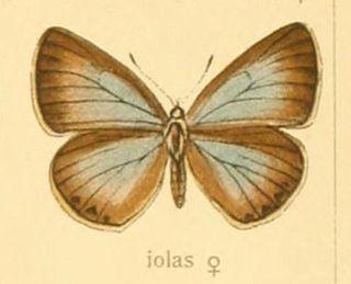 <i>Iolana iolas</i> species of insect