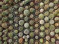 "Iran-qom-Cactus-The greenhouse of the thorn world گلخانه کاکتوس ""دنیای خار"" در روستای مبارک آباد قم- ایران 11.jpg"