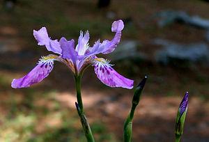 Iridoideae - Iris milesii