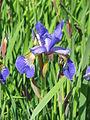 Iris sibirica02.jpg