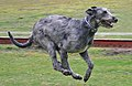 Irish Wolfhound Attila.jpg