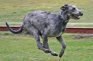 Irish Wolfhound - Irish Wolfhound running