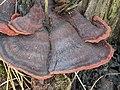 Ischnoderma benzoinum 108798468.jpg