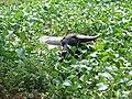 Ishigaki yaimamura water baffalo pond.jpg