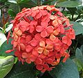 Ixora coccinea - flame of the woods -dwarf red- - desc-flowerhead.jpg