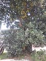 Jackfruit tree in Presidente Prudente.jpg