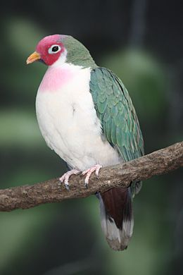 Jambu Fruit Dove 2010