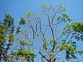 Jf9156Pterocarpus indicus Floridablanca Pampangafvf 04.JPG