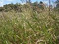 Johnson Grass (3215391960).jpg