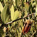 Jojoba Nut - Flickr - treegrow (3).jpg