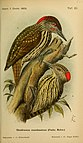 Journal für Ornithologie (1905) (14563297538).jpg