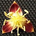 Jubaea chilensis Flor masculina (Fundación JBN de Viña del Mar) 001.jpg
