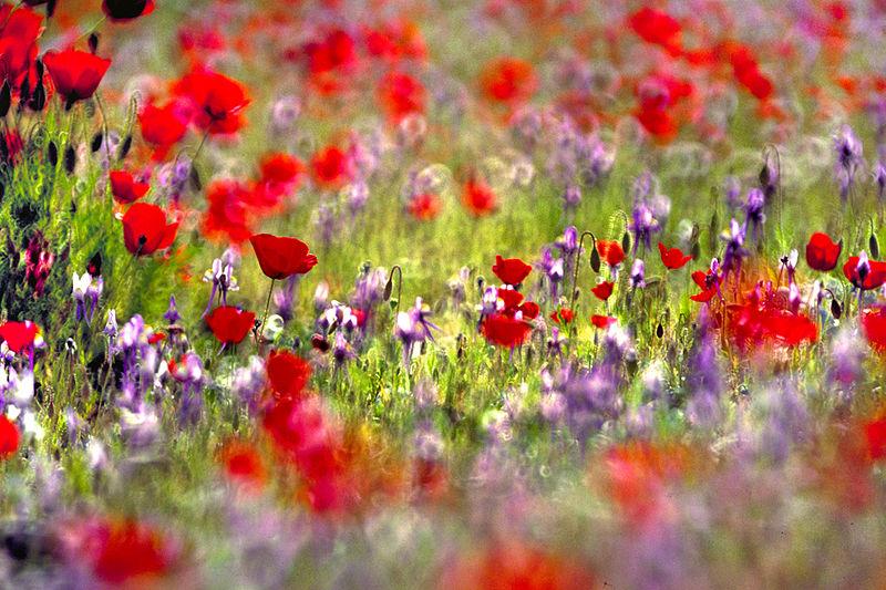 File:Judean Desert in bloom.jpg