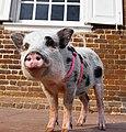 Juliana pig wears harness.jpg