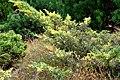Juniperus x media 'Blue and Gold' Media Blue and Gold Juniper ოქრო-ლურჯი ჰიბრიდული ღვია.JPG