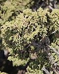 Juniperus zanonii - detalle.jpg