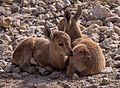 Juvenile Nubian ibex (50848).jpg
