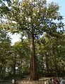 KANNIMARA TEAK TREE.JPG