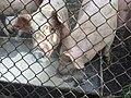 KHOZER (Pigs) 5.jpg
