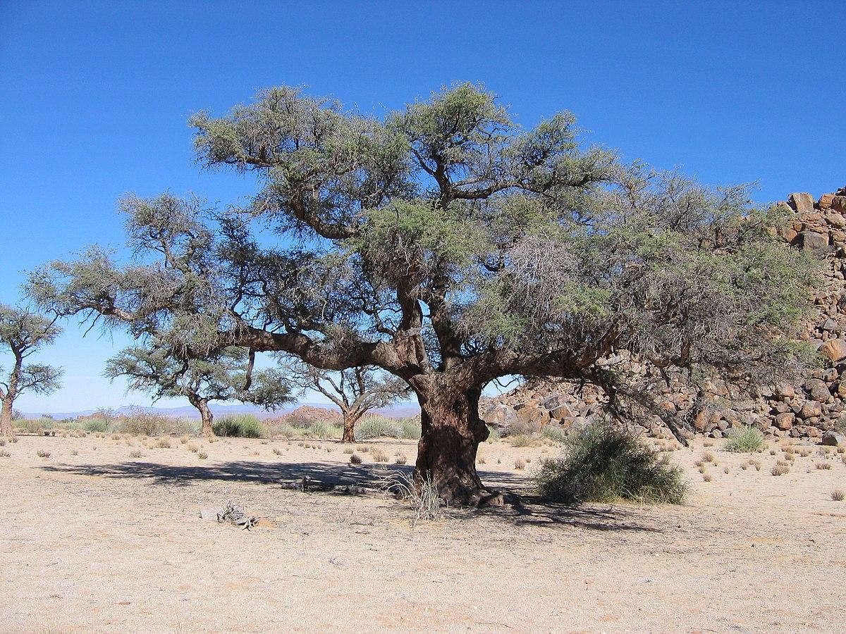 Acacia erioloba wikipedia for Acacia albero