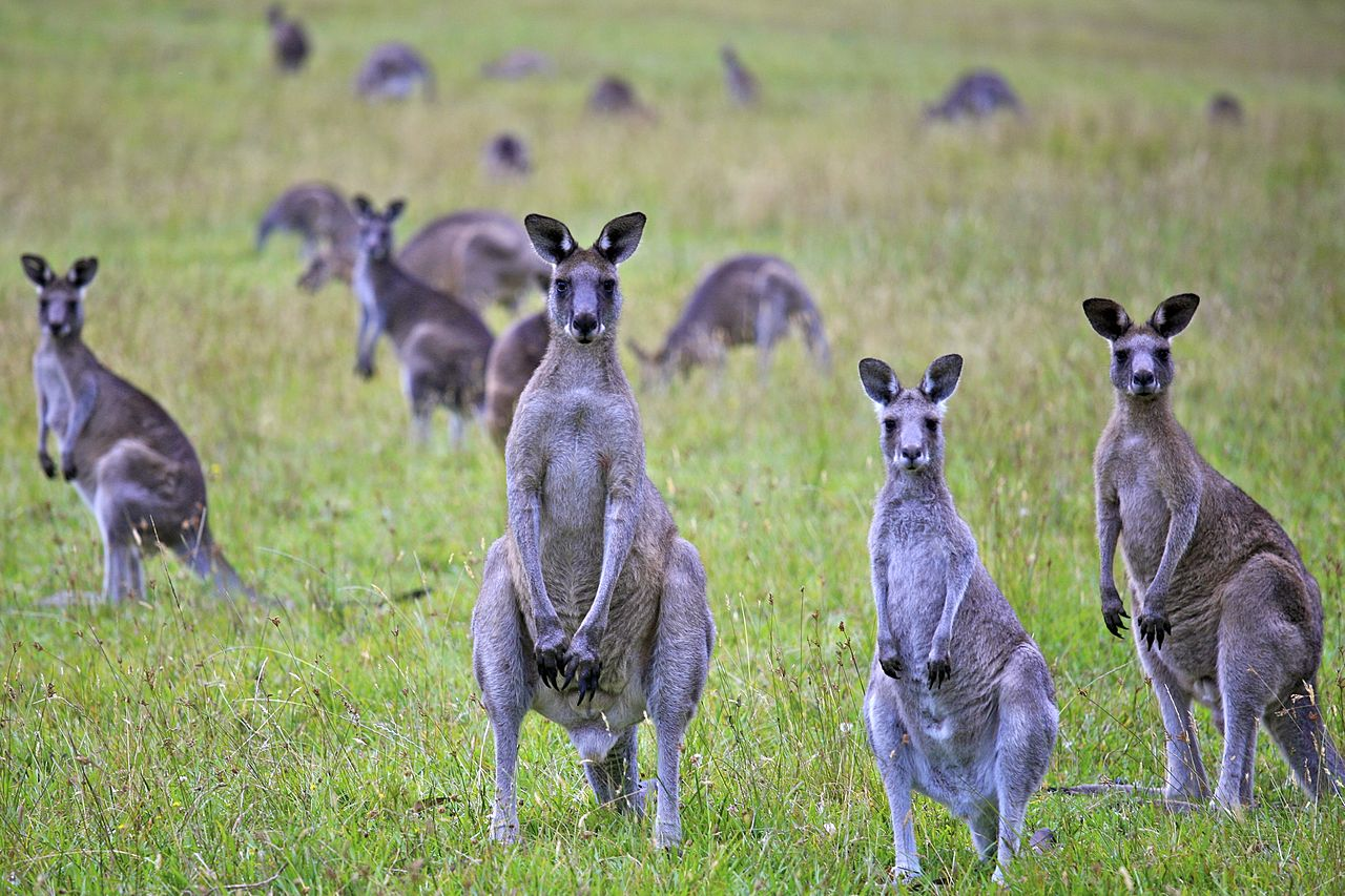 http://upload.wikimedia.org/wikipedia/commons/thumb/4/4f/Kangaroo_Portrait_(6754298445).jpg/1280px-Kangaroo_Portrait_(6754298445).jpg