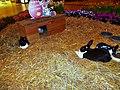Kaninchen im Kornmarktcenter in Bautzen (2).JPG