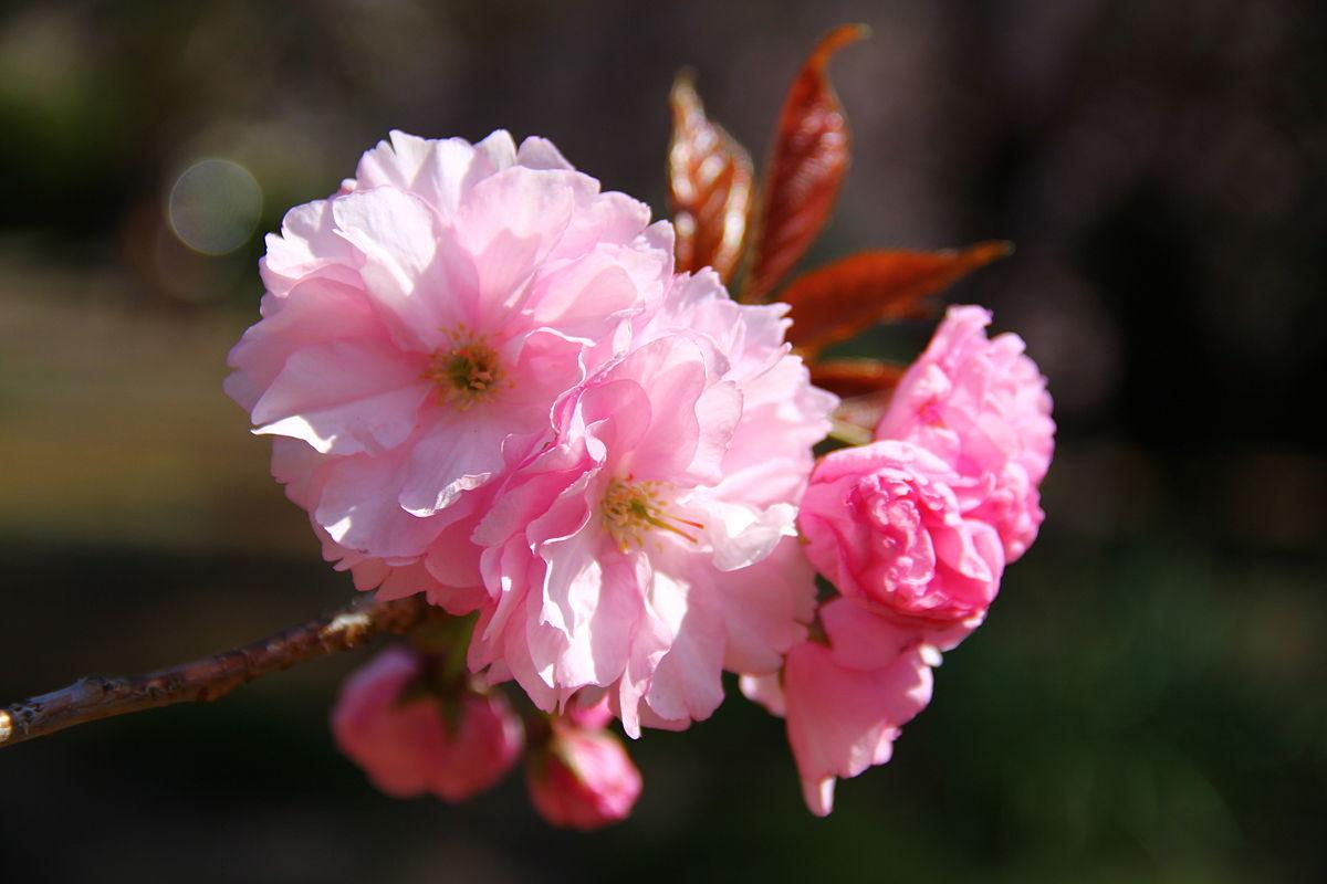 Kanzan, Cerasus lannesiana 'Sekiyama' Koidzumi.JPG