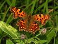 Karpytune, Polygonia c-album. Fam. Nymphalidae2.jpg
