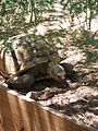 Keepers of the Wild - Tortoise - panoramio - Zzyzx.jpg