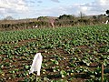 Keeping the Birds off the Brassicas - geograph.org.uk - 105541.jpg