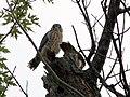 Kestrel Nest (9037259387).jpg