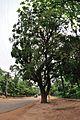 Kigelia africana - Santiniketan 2014-06-29 5398.JPG