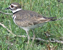Killdeer23.jpg