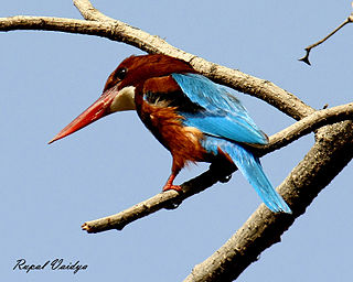 Kingfisher (Halcyon smyrnensis).jpg