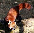 Kleiner Panda Ailurus fulgens Tierpark Hellabrunn-15.jpg