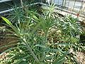 Kleinia neriifolia (Botanischer Garten Freiburg).jpg