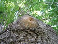 Knot belly fraxinus 1 beentree.jpg