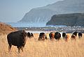 Kodiak Island bison.jpg