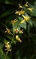 Koelreuteria paniculata H.jpg
