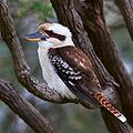 Kookaburra in Greenwich, suburban Sydney.jpg