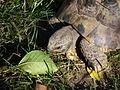 Kopf Griechische Landschildkröte.JPG