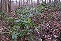 Korina 2015-03-29 Mahonia aquifolium 2.jpg