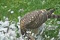 Krogulec jedzący gołębia 2.jpg