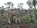 Kudu (393889447).jpg