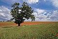 L'antica quercia del pulo.jpg